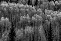 Wind-Whipped Aspens Black & White, Telluride Valley Floor, San Miguel County, Colorado