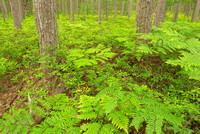 Fern Forest, Lasso Road, Sleeping Bear Dunes National Lakeshore, Michigan
