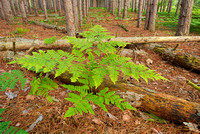 Ferns & Trunks, Red Pine Forest, Sleeping Bear Dunes National Lakeshore, Michigan