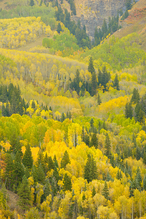 Aspens Forest, Last Dollar Road, Uncompahgre National Forest, Colorado