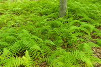 Fern Forest, Ramapo Mountain State Forest, New Jersey
