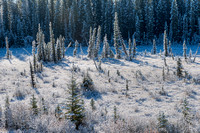 Snowy Conifers, David Thompson Country, Alberta