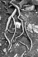 Tree Roots Black & White, Sunwapta River Canyon, Jasper National Park, Alberta