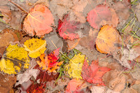 Fallen Leaves, Pendleton Point, Blackwater Falls State Park, West Virginia