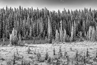 Snowy Conifers Black & White, David Thompson Country, Alberta