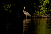 Great Blue Heron, Churchill Woods Forest Preserve, DuPage County, Illinois