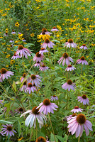Prairie Wildflowers, Ramapo Mountain State Forest, New Jersey