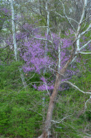 Redbud & Sycamores, Fort Harrison State Park, Indiana