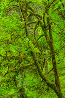 Broad-Leaf Maples, Trail of Ten Falls, Silver Falls State Park, Oregon