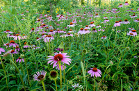 Purple Coneflowers, Danada Forest Preserve, Illinois