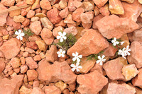 Red Canyon Wildflowers, Red Canyon, Dixie National Forest, Utah