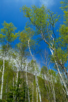 Birch Trees near Sand Beach, Acadia National Park, Maine