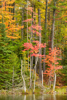 Council Lake Trees, Hiawatha National Forest, Michigan