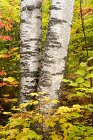 Council Lake Birches, Hiawatha National Forest, Michigan
