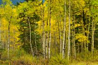 "Aspens, ""Belly of Abraham,"" David Thompson Country, Alberta"