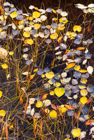 Aspen Leaves and Grasses, Preacher's Point, David Thompson Country, Alberta