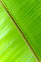 Banana Tree Leaf, Chicago Botanic Garden, Illinois